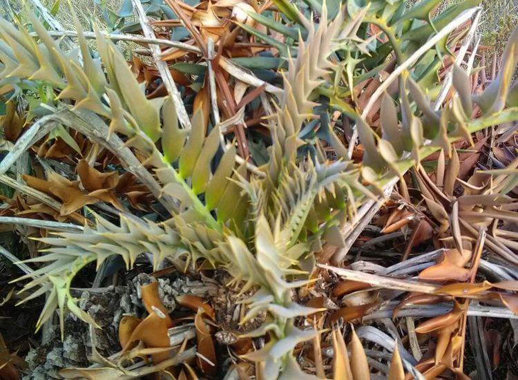 Alexandria Cycad or Dune Cycad (Encephalartos arenarius).