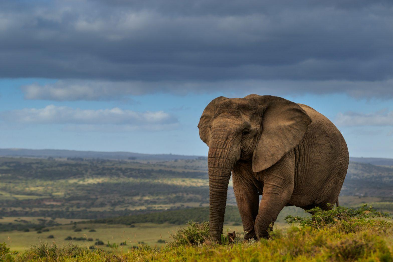 Elephant - Amakhala
