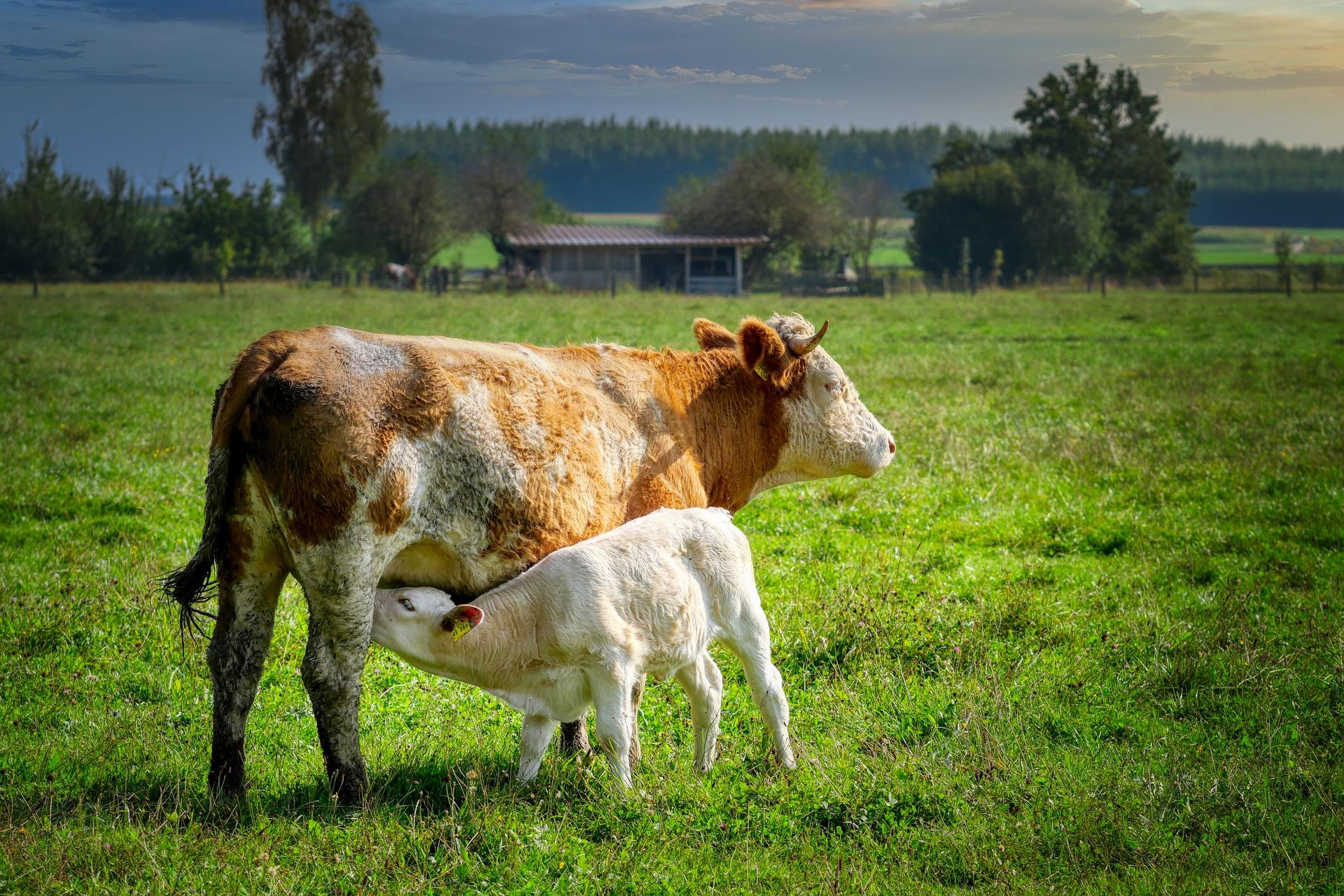 Cow and calf in a field